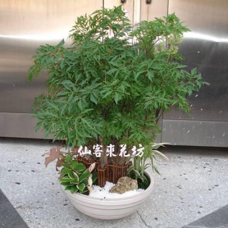 【P-039】福祿桐(川七),開運盆栽-室內盆栽-桌上型盆栽