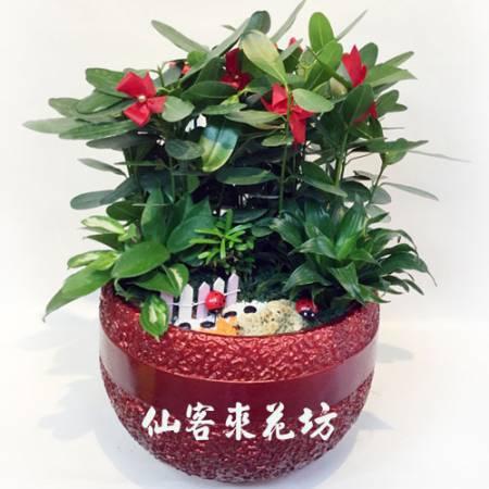 【P-108】福木盆栽,開運盆栽-室內盆栽-桌上型盆栽
