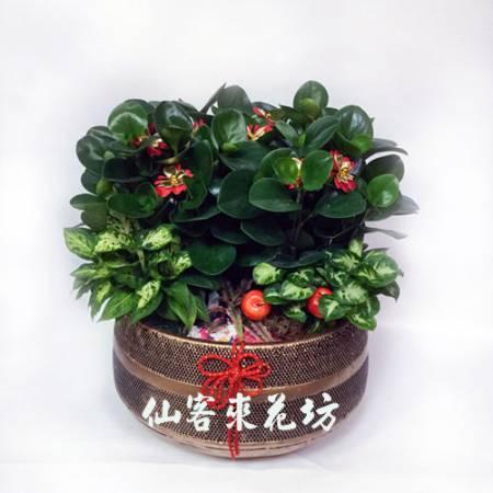 【P-109】圓葉椒草開運組合盆栽,開運盆栽-室內盆栽-桌上型盆栽