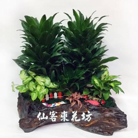 【P-110】阿波羅組合盆栽桌上型,開運盆栽-室內盆栽-桌上型盆栽