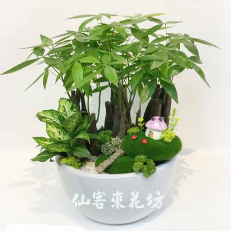 【P-111】發財樹(馬拉巴栗),開運盆栽-室內盆栽-桌上型盆栽