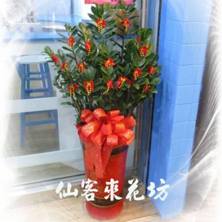 【T-139】筆筒型落地金錢樹落地盆栽,開運盆栽-室內盆栽-開幕盆栽