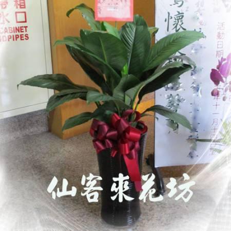 【T-138】筆筒型落地綠巨人落地盆栽,開運盆栽-室內盆栽-開幕盆栽