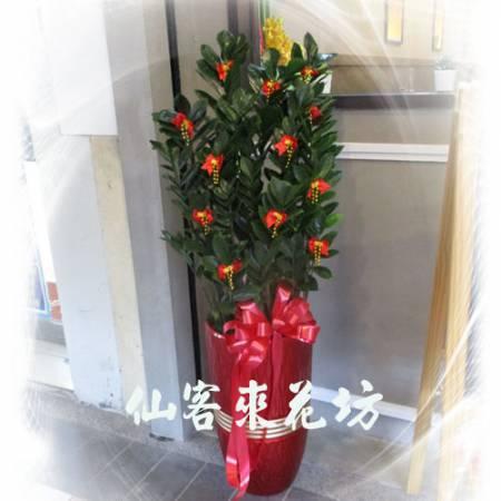 【T-137】筆筒型落地金錢樹落地盆栽,開運盆栽-室內盆栽-開幕盆栽