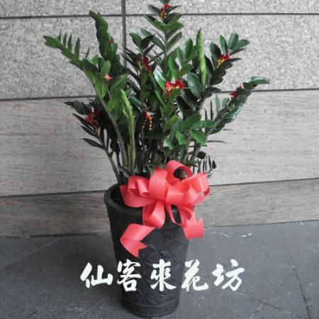 【T-105】金錢樹落地盆栽,開運盆栽-室內盆栽-開幕盆栽
