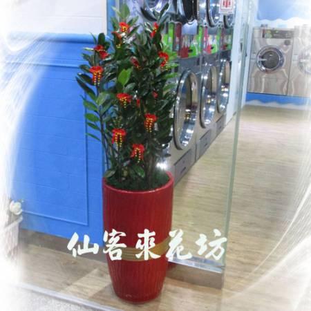 【T-128】金錢樹落地盆栽,開運盆栽-室內盆栽-開幕盆栽