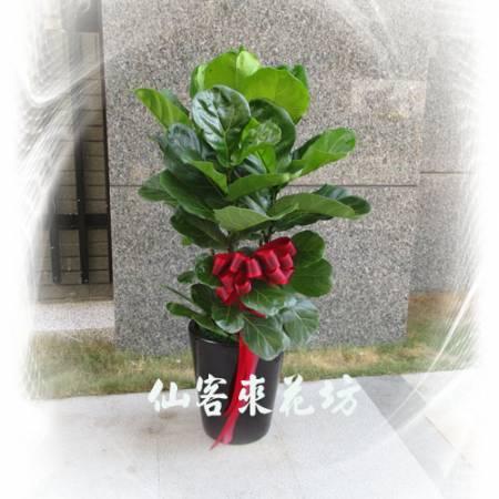 【T-115】琴葉曼綠絨(琴葉榕)落地盆栽,開運盆栽-室內盆栽-開幕盆栽