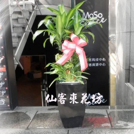 【T-125】巴西鐵樹盆栽落地盆栽,開運盆栽-室內盆栽-開幕盆栽