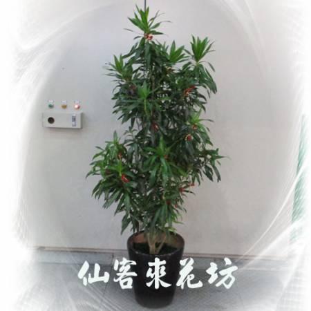 【T-122】百合竹盆栽落地盆栽,開運盆栽-室內盆栽-開幕盆栽