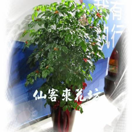 【T-104】旺旺樹進財旺旺樹落地盆栽,開運盆栽-室內盆栽-開幕盆栽