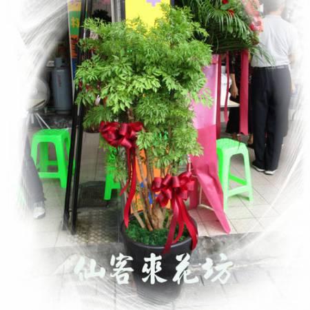 【T-117】福祿桐/川七盆栽落地盆栽,開運盆栽-室內盆栽-開幕盆栽