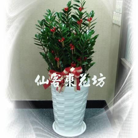 【T-123】金錢樹落地盆栽,開運盆栽-室內盆栽-開幕盆栽