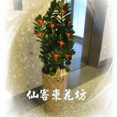 【T-131】金錢樹落地盆栽,開運盆栽-室內盆栽-開幕盆栽