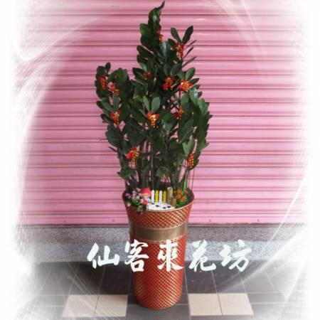 【T-132】金錢樹落地盆栽,開運盆栽-室內盆栽-開幕盆栽