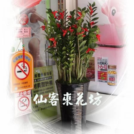 【T-136】金錢樹落地盆栽,開運盆栽-室內盆栽-開幕盆栽