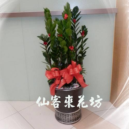 【T-116】金錢樹落地盆栽,開運盆栽-室內盆栽-開幕盆栽