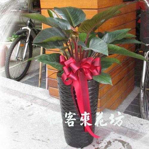 【T-126】紅鑚紅寶石喜林芋落地盆栽,開運盆栽-室內盆栽-開幕盆栽