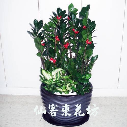 【T-134】落地金錢樹落地盆栽,開運盆栽-室內盆栽-開幕盆栽