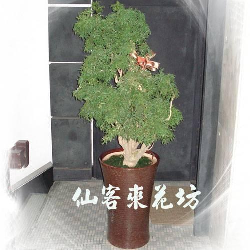 【T-130】福祿桐/川七盆栽落地盆栽,開運盆栽-室內盆栽-開幕盆栽