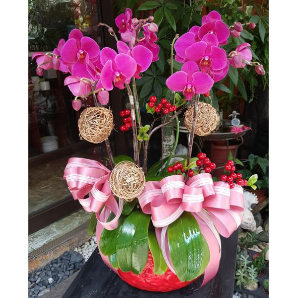 D001祝賀蘭花盆栽-5株
