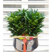 E001阿波羅精緻盆栽