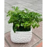 E002桐心木小型盆栽