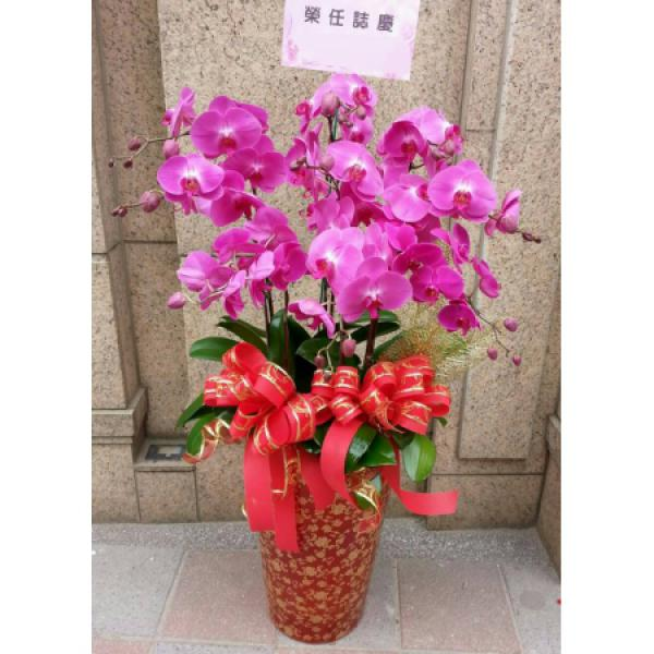 D005祝賀蘭花盆栽-10株