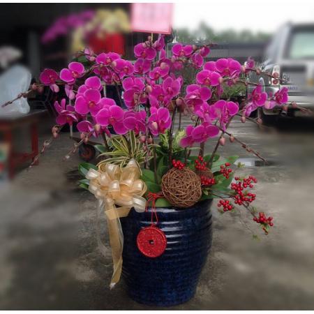 D006大型祝賀蘭花盆栽-15株(特A級)