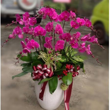 D007大型祝賀蘭花盆栽-12株(特A級)