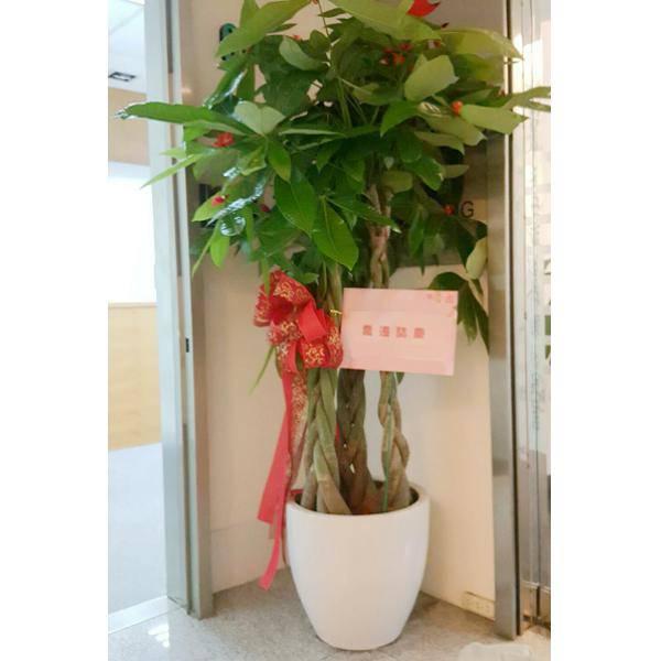 F008發財樹盆栽(夏季植物)