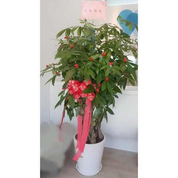 F20大型-發財樹(夏季植物)