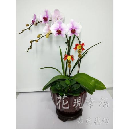 RZ004迎春納福蘭花組合盆栽