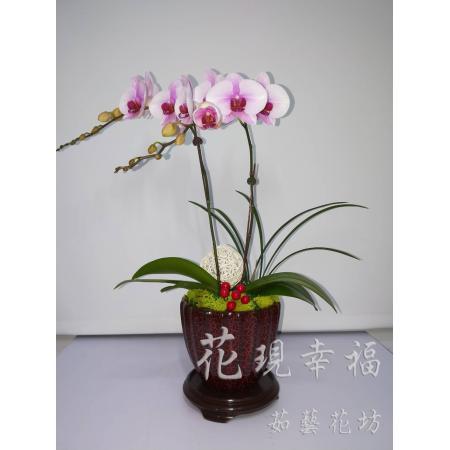 RZ005櫻花公主蘭花組合盆栽