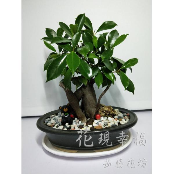 CC001台灣黑熊長青盆栽