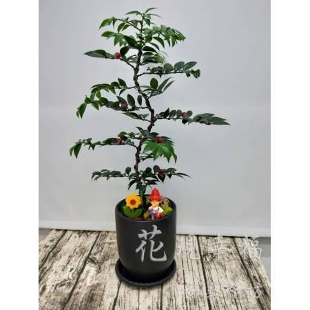 ZU014圓柏組合盆栽