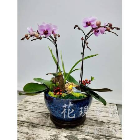 RZ015[雙星報喜]蘭花組合盆栽