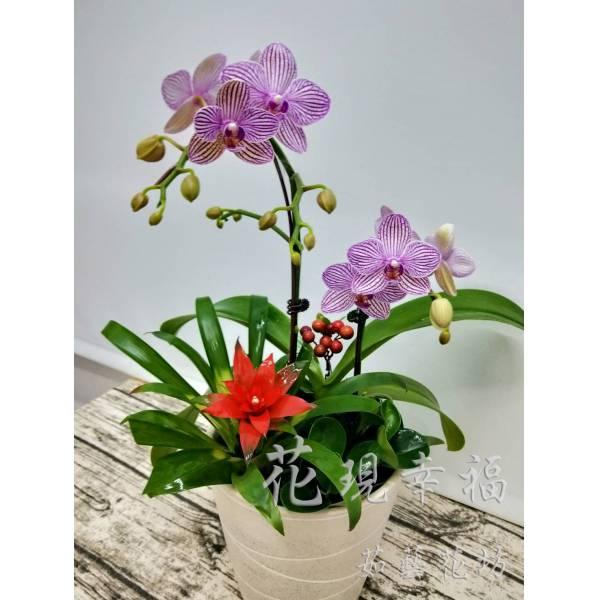 RZ017[鴻運當頭]蘭花組合盆栽