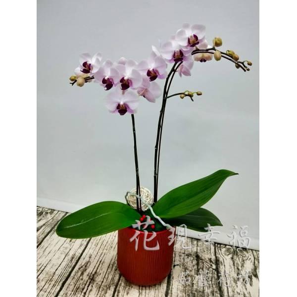RZ018[雙喜臨門]蘭花組盆