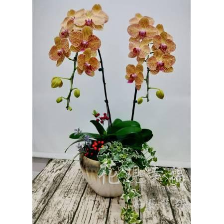 RZ020[黃金甲]蘭花組盆