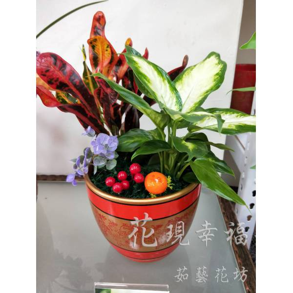 ZU022變葉木白玉組合盆栽