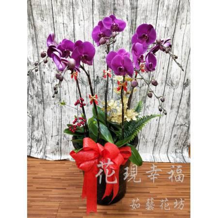 RZ026大紅大紫蘭花組盆(5株)