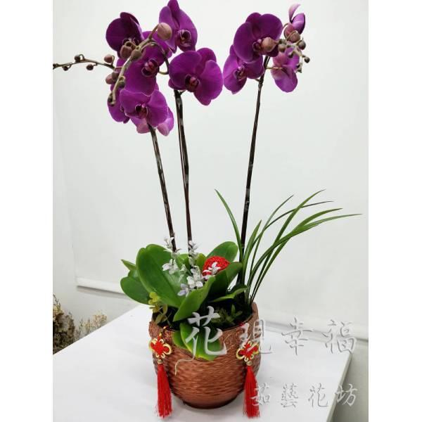 RZ027大紅大紫蘭花組盆(3株)