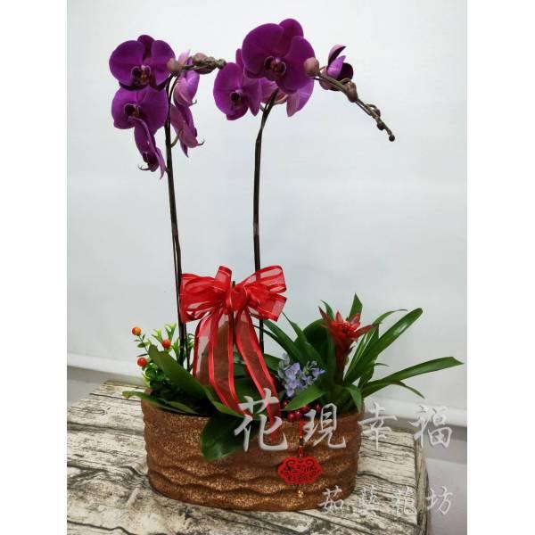 RZ028紫氣東來蘭花組盆