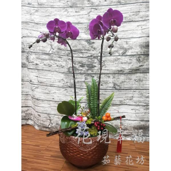 RZ029紫氣東來蘭花組盆