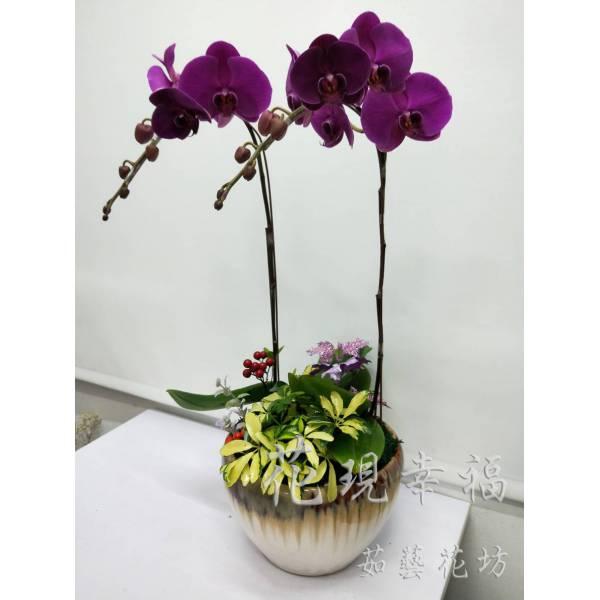 RZ030紫氣東來蘭花組盆