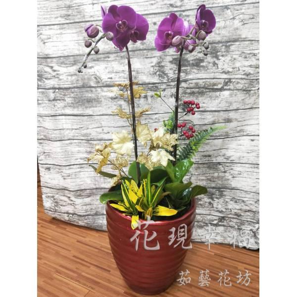 RZ031紫氣東來蘭花組盆