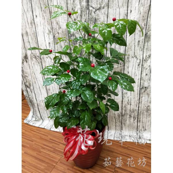 ZU023旺旺樹組合盆栽