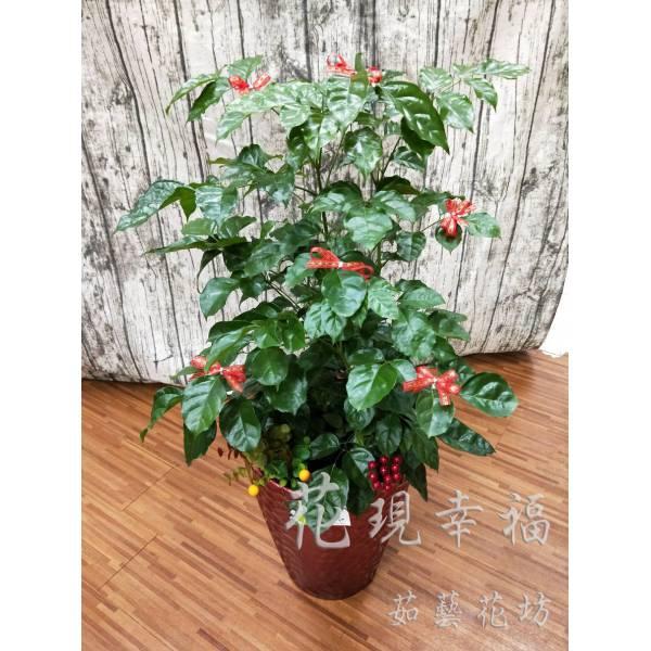 ZU024旺旺樹組合盆栽