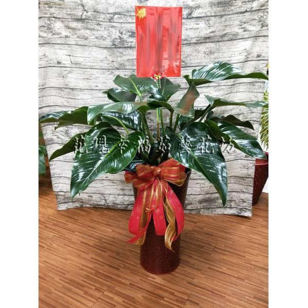 SI013綠鑽高盆組合盆栽