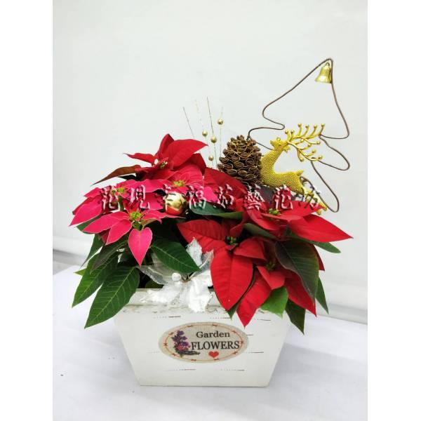 ZU026聖誕紅組盆